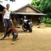 Tips Dalam Merawat Ayam Aduan Bangkok Kesayangan