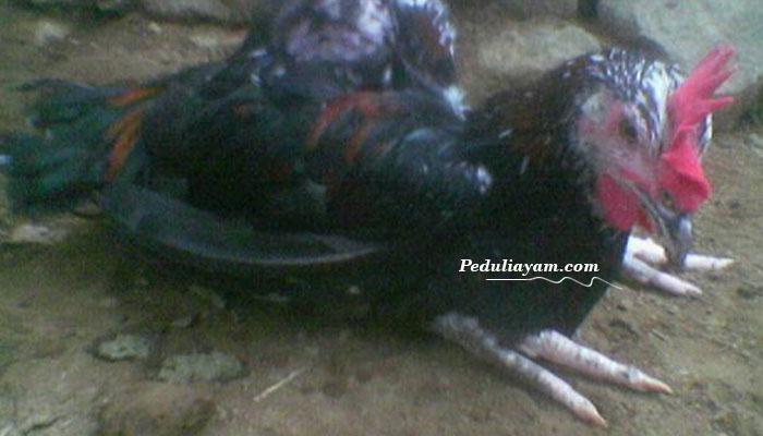 Langkah Mengatasi Ayam aduan lumpuh Mendadak