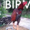 Mengenal Lebih Dalam Ciri Khusus Ayam Birma Asli