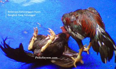 Beberapa Katuranggan Ayam Bangkok Yang Terunggul