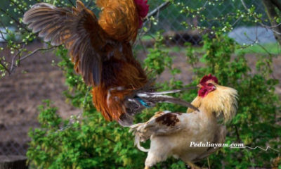 Beberapa Ciri Ayam Bangkok Berkualitas Pukul Mematikan