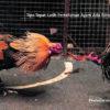 Tips Tepat Latih Pertahanan Ayam Adu Bangkok Dari Nol