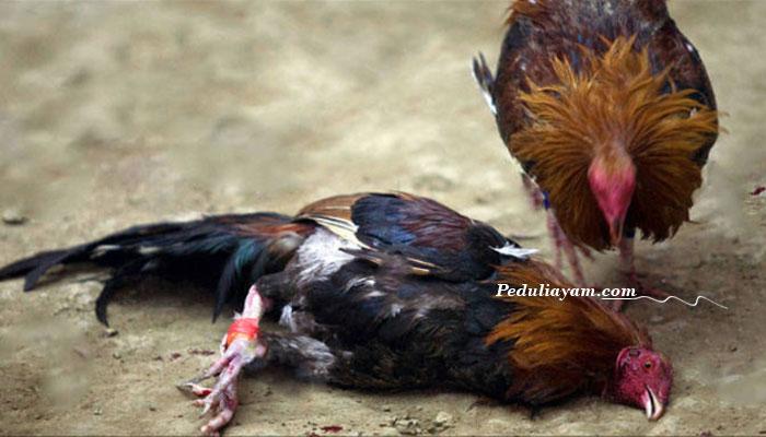 Berbagai Point Penting Dalam Memilih Ayam Bangkok Berkualitas