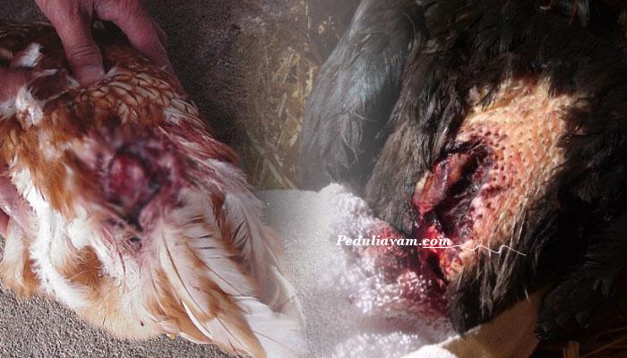 Seputar Penyebab Ayam Kanibal Serta Cara Mengantisipasinya