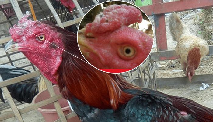 Langkah Ampuh Basmi Kurap Pada Ayam