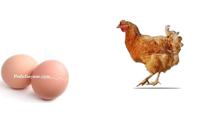 Beberapa Jenis Ras Ayam Produktif Cocok Untuk Diternak
