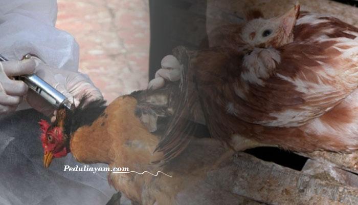 Cara Alami Obati Penyakit Tetelo Pada Ayam Laga