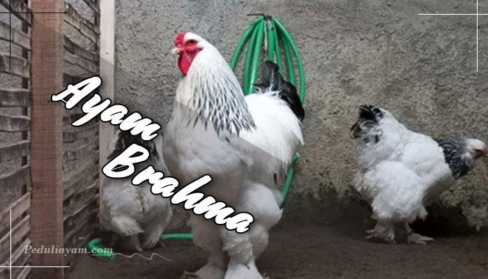 Info Ayam Hias: Mengenai Ayam Brahma
