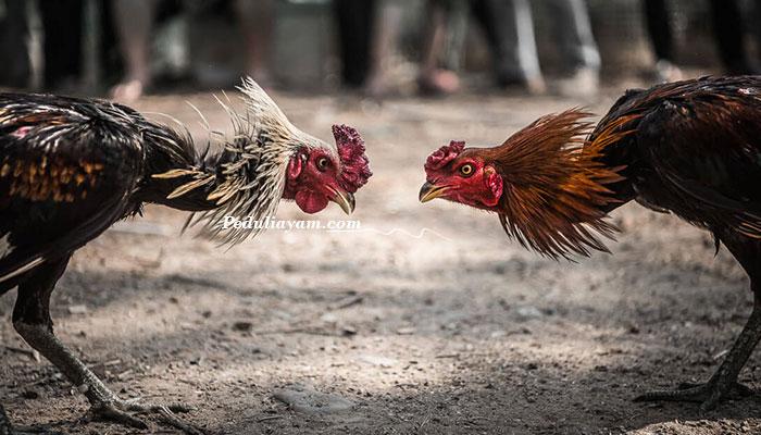 Tips Memilih Ayam Aduan Dalam Arena Sabung Ayam Online