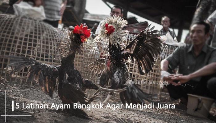 5 Latihan Ayam Bangkok Agar Menjadi Juara