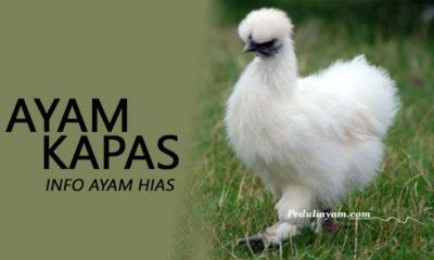 Info Ayam Hias Kapas Yang Lucu Serta Menggemaskan