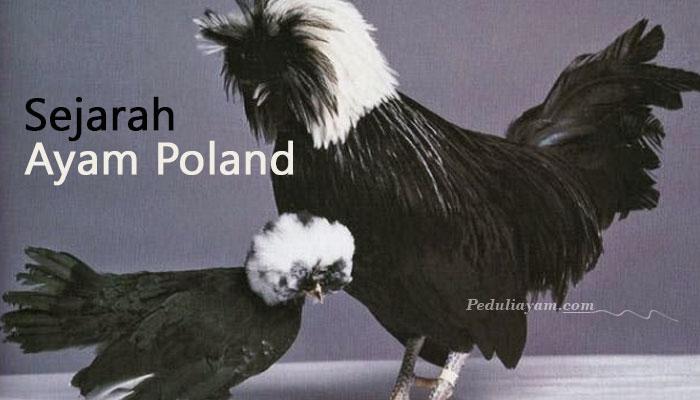 Ayam Poland Ayam Hias Unik Yang Berjambul