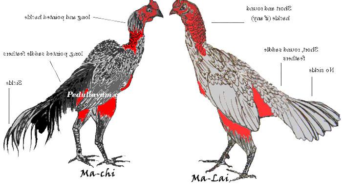 Mengenal lebih Tentang Ayam Asli Vietnam Saigon