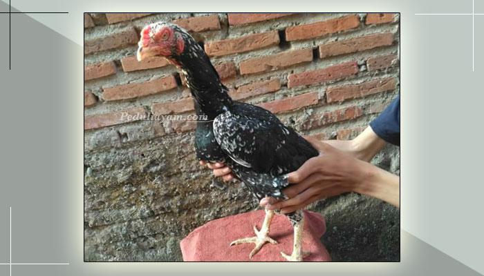 Kriteria Babon Ayam Bangkok Berkualitas Tinggi