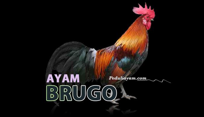 Keunikan Ayam Hias Brugo Asli