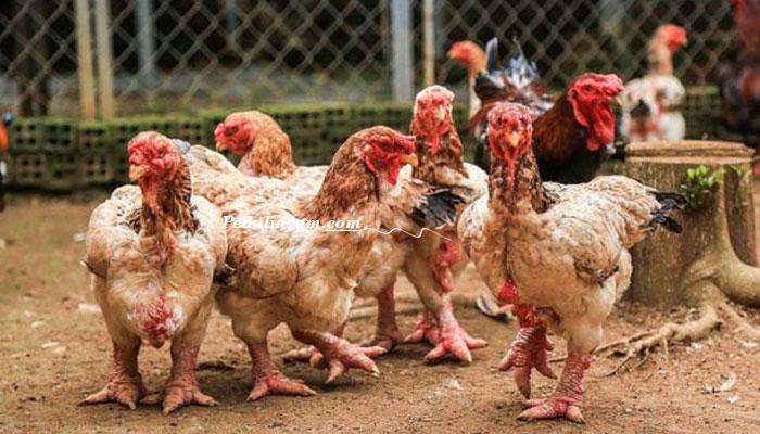 Mengenal Dong Tao Ayam Hias Dari Vietnam