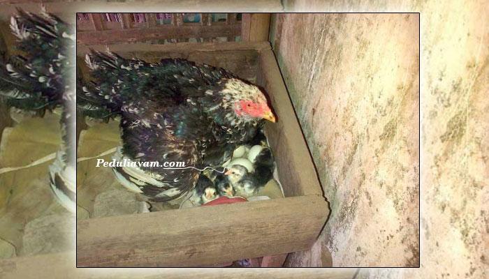 6 Tips Basmi Hama Kutu Pada Ayam Kesayangan