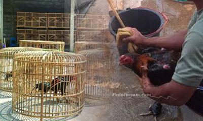 Berbagai Perawatan Harian Terhadap Ayam Laga