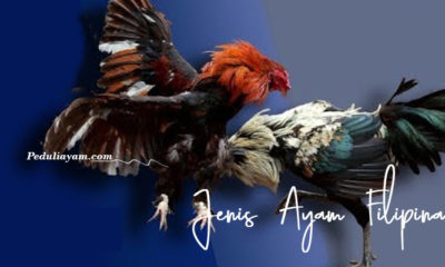 Berbagai Jenis Ayam Filipina No 2 Ayam Kesukaan Manny Pacquiao