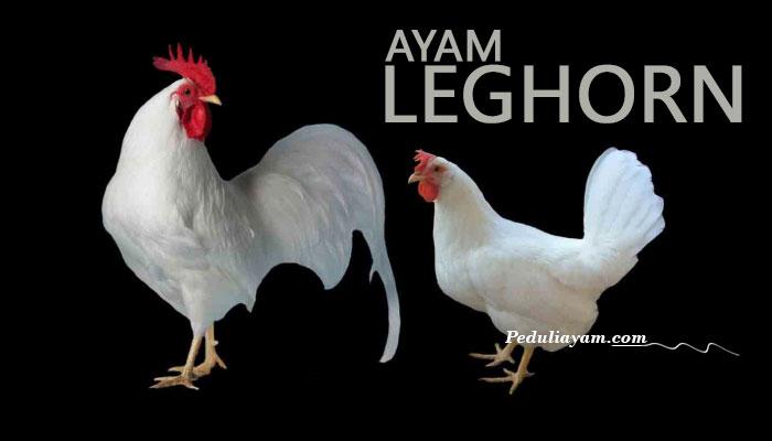 Mengenal Ayam Leghorn Lebih Dekat