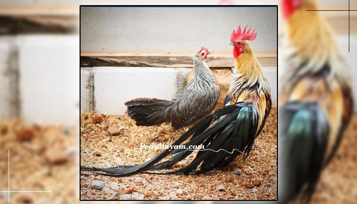 Ayam Hias Phoenix Asal Jerman