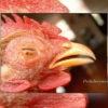 Mengatasi Penyakit Kuning Pada Ayam Laga