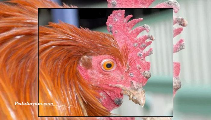 Beberapa Jenis Penyakit Virus Pada Ayam Laga
