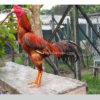 Mengenal Jenis Ayam Bangkok Suro Asli