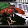 Manfaat Serta Kandungan Gizi Nasi Putih Untuk Ayam Bangkok