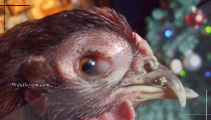Tips Mengatasi Mata Berair Dan Berbusa Pada Ayam Bangkok