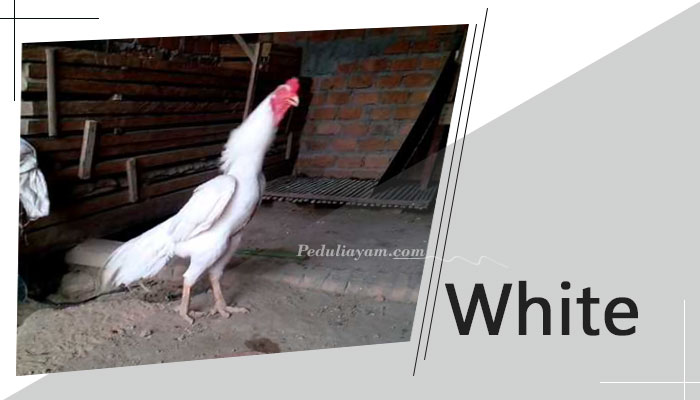 Jenis Ayam Bangkok Aduan Yang Populer Di Indonesia
