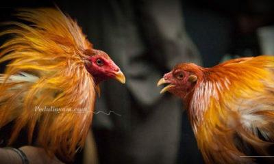 Langkah Menilai Kaki Ayam Filipina Yang Berkualitas Tinggi