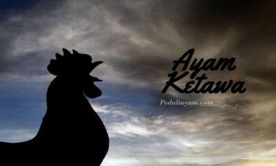 Mari Kenal Ayam Ketawa Asli Asal Indonesia Serta Jenisnya