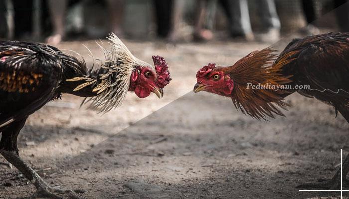 Teknik Rahasia Menguatkan Otot Leher Ayam Bangkok