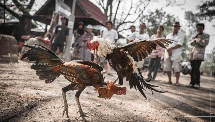 Teknik Bertarung Brakot Dan Nikus Ayam Bangkok Yang Mematikan