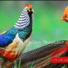 Mengenal 3 Jenis Ayam Hias Pheasant Di Indonesia
