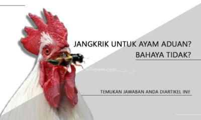 Ketahui Berbagai Manfaat Jangkrik Untuk Ayam Aduan