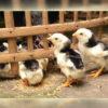 Tips Dalam Memilih Bibit Ayam Bangkok Berkualitas Tinggi