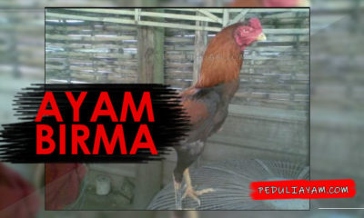 Mengetahui Teknik Tarung Ayam Birma Yang Sesungguhnya