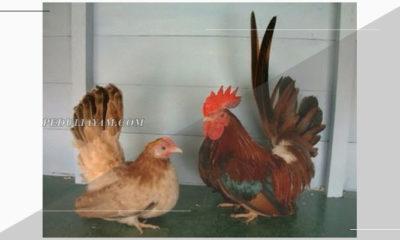 5 Jenis Ayam Kate Hias Yang Belum Diketahui