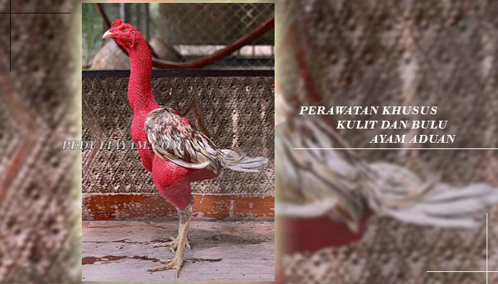 Inilah Perawatan Khusus Kulit Serta Bulu Ayam Laga