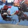 Langkah Mudah Melatih Otot Sayap Serta Otot Kaki Ayam Aduan