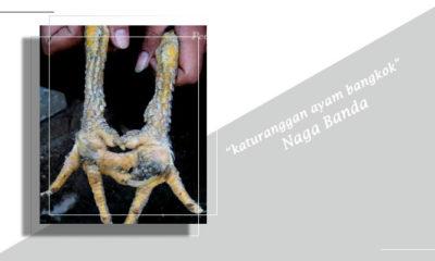 Katuranggan Ayam Bangkok Berkaki Sisik Naga Banda