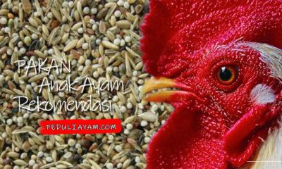 Pakan Anak Ayam Aduan Rekomendasi Peduli Ayam