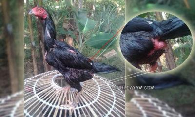 Langkah Mudah Dalam Mengobati Dubur Ayam Betina Yang Keluar