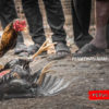 Ini Perbedaan Ayam bangkok F1 Asli Dan Silangan