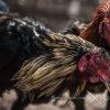 Bermain Games Sabung Ayam Online Dengan Pulsa