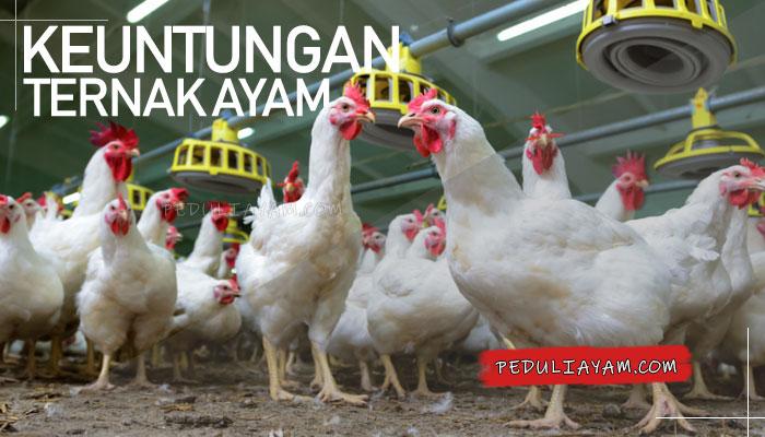 7 Keuntungan Bila Anda Memulai Ternak Ayam