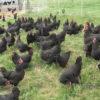 Kelebihan Ternak Ayam Petelur Tanpa Kandang Serta Kerugiannya