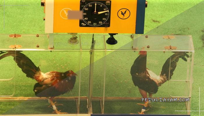 Mari Mengenal Adu Ayam Hutan Di Kolombia
